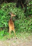 Bushbuck bij het Nationale Park van Tsitsikamma, Zuid-Afrika Royalty-vrije Stock Afbeeldingen