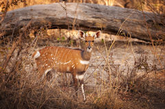 Bushbuck in the Buffalo National Park in the Caprivi Strip, Namibia Royalty Free Stock Images
