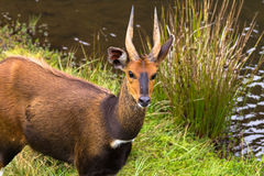 Bushbuck closeup. Aberdare, Kenya. Bushbuck closeup near river. Aberdare, Kenya, Africa Stock Photography
