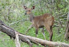 Bushbuck, der in Kruger-Park anstarrt stockbilder