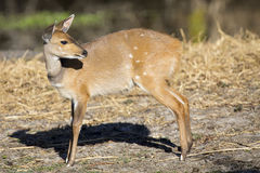 Bushbuck doe walking along the edge of pond eating grass Stock Images