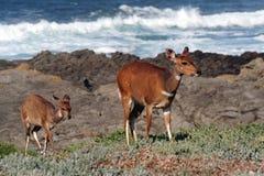 Bushbuck en kalft 2 Stock Foto