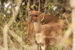 Bushbuck femminile Fotografie Stock Libere da Diritti