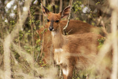 Bushbuck femminile Immagini Stock