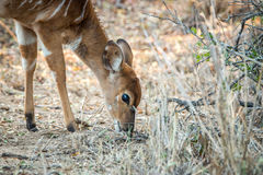 Bushbuck grazing in the Kruger. Royalty Free Stock Photo
