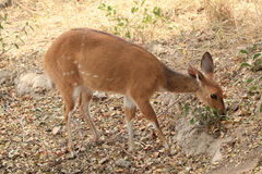 Bushbuck grazing in the Kruger National Park, South Africa Stock Photography