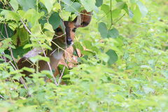 Bushbuck hiding from predators on savanna. The bushbuck (Tragelaphus scriptus) is a medium-size antelope that occupies Sub-Saharan Africa. The antelope lives in Royalty Free Stock Image
