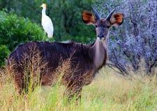 Bushbuck i Sydafrika Fotografering för Bildbyråer