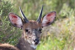 Bushbuck Infested with Ticks Royalty Free Stock Photos