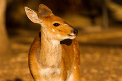 Bushbuck Looking A-glow Stock Image
