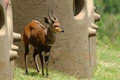 Bushbuck, Maasai Mara Game Reserve, Kenya Royalty Free Stock Photography