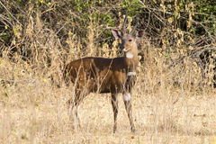 Bushbuck male standing among the bushes in the Ugandan bush sunn Royalty Free Stock Photo