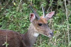 Bushbuck with Parasites Royalty Free Stock Image
