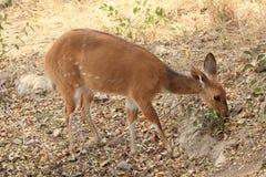 Bushbuck pasanie w Kruger parku narodowym, Południowa Afryka Fotografia Stock
