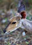 Bushbuck Portrait Royalty Free Stock Image