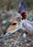 Bushbuck-Portrait Lizenzfreies Stockbild