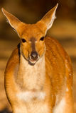 Bushbuck Portrait Royalty Free Stock Photo