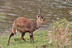 Bushbuck ram Royalty Free Stock Photo