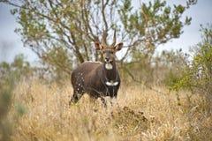 Bushbuck-RAM Stockbild