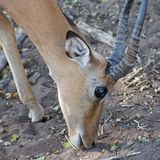 Bushbuck with reflection from the eye Royalty Free Stock Images
