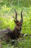 Bushbuck (scriptus do Tragelaphus) foto de stock