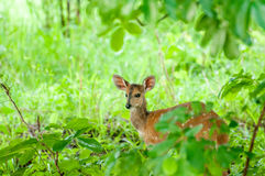 Bushbuck in Thicked Stockfotos
