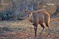Bushbuck (Tragelaphus scriptus) Zdjęcia Stock