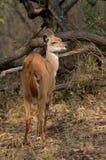 Bushbuck {Tragelaphus Scriptus} ewe Stock Photo