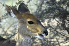 Bushbuck (Tragelaphus scriptus) Stock Photography