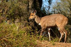 Bushbuck (Tragelaphus scriptus) Royalty Free Stock Photo