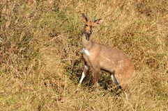 Bushbuck (Tragelaphus scriptus) Stock Photo