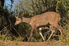 Bushbuck (Tragelaphus scriptus) Royalty Free Stock Image