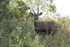 Bushbuck - Tragelaphus scriptus Royalty Free Stock Photo