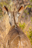 Bushbuck Stock Photo