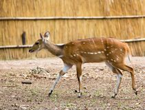 Bushbuck walking with a thatched screen in the background, muffle, south luangwa Royalty Free Stock Images