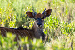 Bushbuck Royalty Free Stock Images