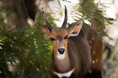 Bushbusk gra główna rolę w Kruger parku narodowym, Południowa Afryka Fotografia Royalty Free