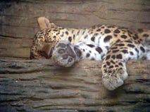 bushcat Стоковые Фото