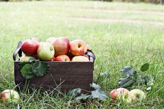 Bushel of Apples At Orchard Stock Photo