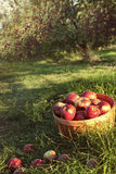Bushel of apples in the orchard Stock Images