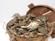 Bushel basket of crabs2. Close up photo of a bushel basket of live blue crabs from the Chesapeake Bay of Maryland stock photo