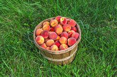 Bushel Basket of Peaches. Fresh picked peaches in a bushel basket against a green background of grass royalty free stock photography