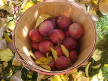 Bushel Basket of Red Apples Royalty Free Stock Photos