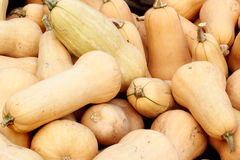 Bushel of butternut squash. A closeup view of a bushel of fresh just picked butternut squash. Shallow depth of field royalty free stock images