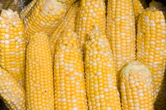 Bushel of corn. Closeup of a bushel of yellow and white sweet corn on the cob royalty free stock photography