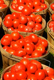 Bushels of Tomatoes. Bushel baskets filled with freshly hand picked organic tomatoes lined up and waiting for transport to the local farmer's market Royalty Free Stock Images
