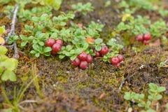 Bushes зрелые клюквы ягод Стоковое Изображение