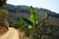 Bushes of bananas along the road Stock Photos