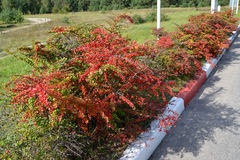 Bushes of a barberry of Tunberg (Berberis thunbergii DC.) grow along the road Stock Photos