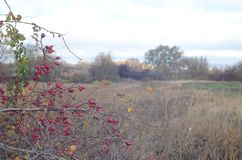 Bushes with berries on the background of the autumn landscape stock images